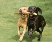 two dogs retrieving a stick together